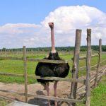 Синявська страусина ферма