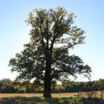 Кропивинці. 800-річний дуб