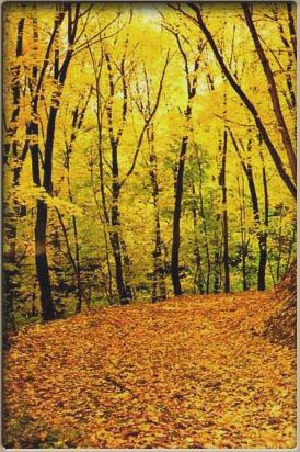 Канівський природний заповідник. Грабові ліси