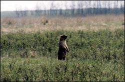 Луганський природний заповідник. Бабак