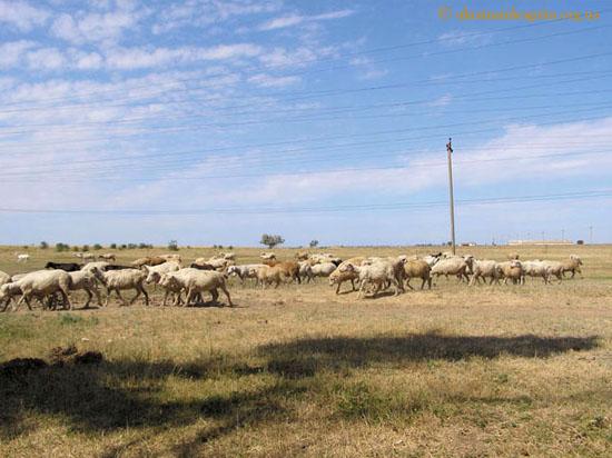 Северный Крым. Овцы