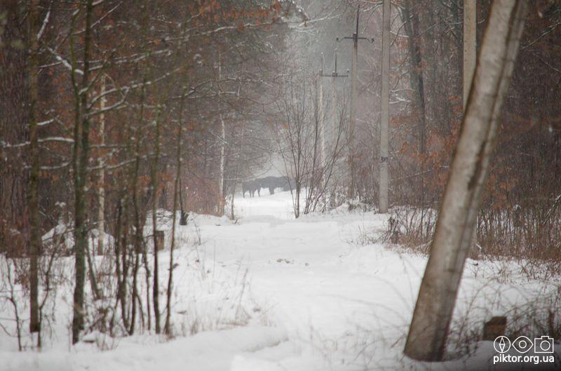 Зубри в лісі